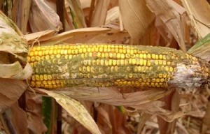 Aflatoxins: Poisoning Health and Trade in Sub-Saharan Africa